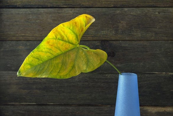 Leaf Chlorosis & Iron: What Does Iron do for Plants?