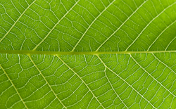 Interveinal Chlorosis: Can It Be Fixed?