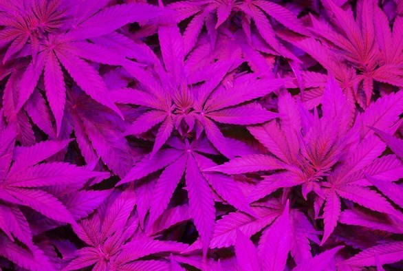 Bud Light: The Best Lighting for Growing Cannabis