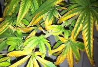 10 Common Marijuana Leaf Problems and How to Fix Them