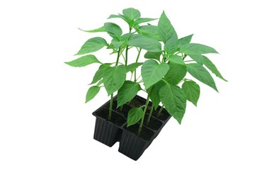 When And How to Transplant Seedlings into the Garden