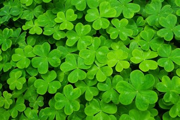 Growing and Propagating Shamrocks