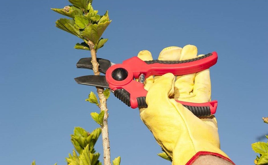 Achieving Shear Growth: Pruning to Maximize Fruit Size