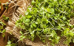 The Magnificent World of Microgreens