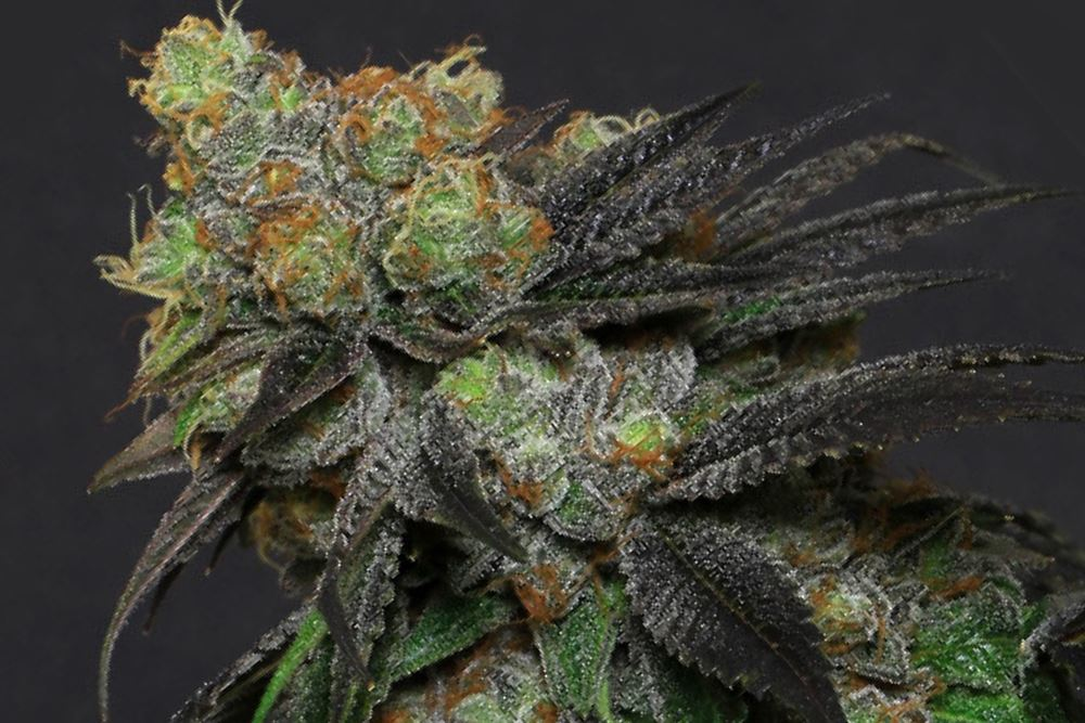 Cut Amp Dried Strain Review Starkiller From Broken Coast