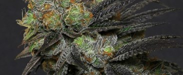 Cut & Dried Strain Review: Starkiller from Broken Coast Cannabis