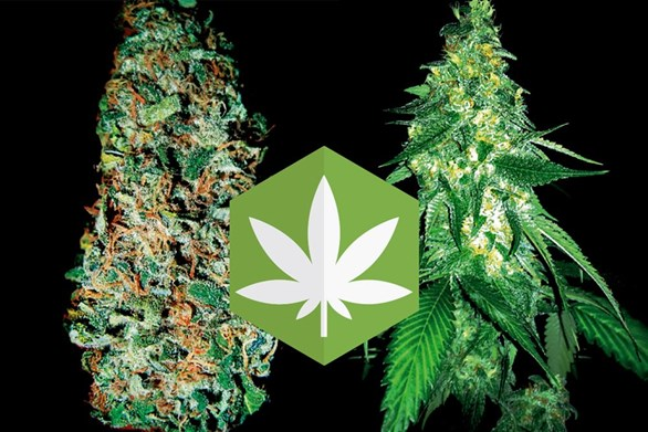 Cut & Dried Strain Review: Maui Waui and Blue Ribbon