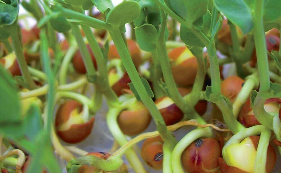 Peas, Beans, and Peanuts: How to Grow Legumes Hydroponically