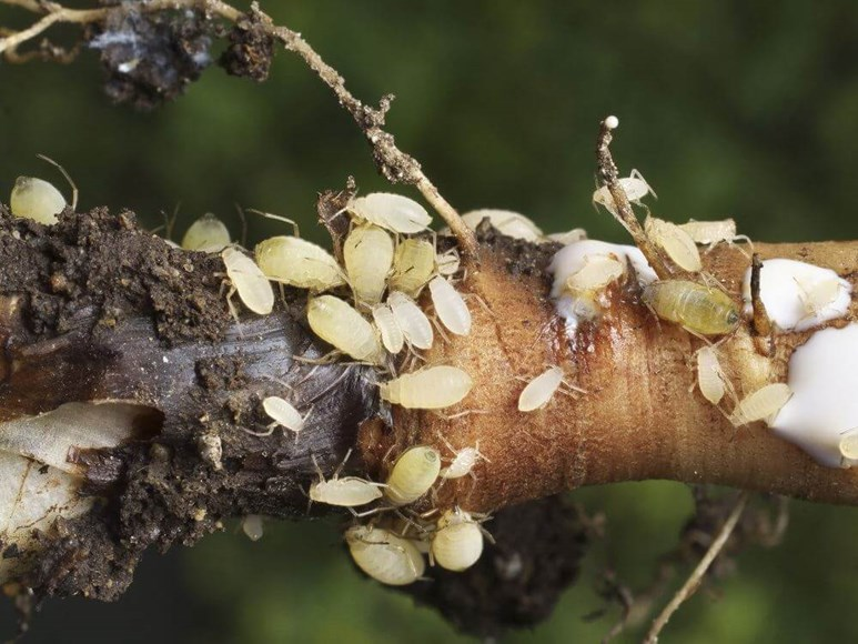 What to do When Root Aphids Have Taken Over Your Plants