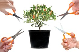 Grubbycup_Pruning-Auxins