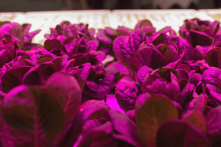 Bright Lights in the Big City: LED Lighting and Vertical Farming