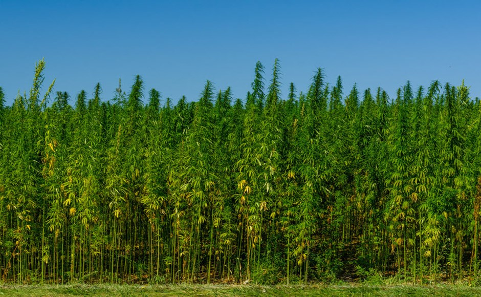 industrial hemp