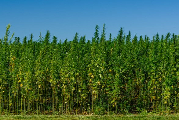 Options for Harvesting Industrial Hemp