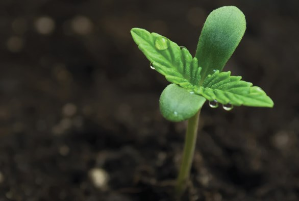 Minerals: An Essential Part of Cannabinoid Production
