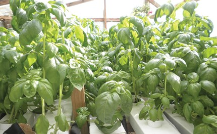 Getting the Most From Hydroponic Basil and Cilantro