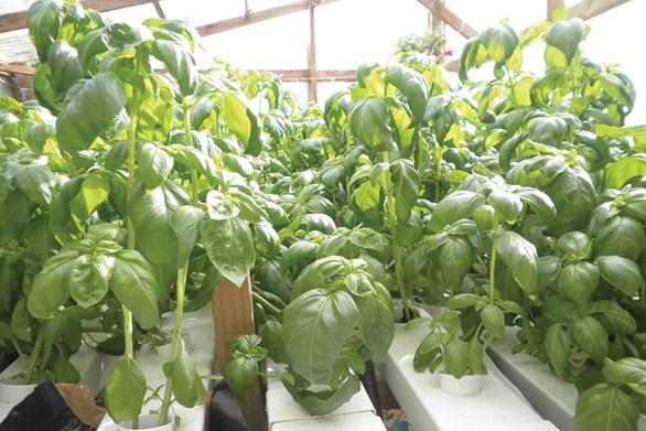 How to Grow Basil and Cilantro Using Hydroponics