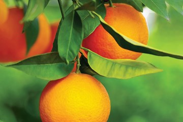 Cultivating a Hydroponic Citrus Grove