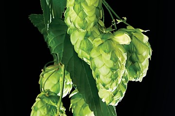 How to Grow Fresh Hydroponic Hops