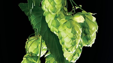 Hops are not the first thing one thinks of when considering a hydroponic crop, but as Lynette Morgan explains, they are increasingly in...
