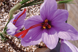 Ask The Experts: Growing Saffron Hydroponically