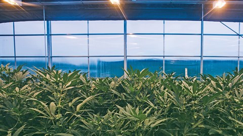 In recent years, cannabis grown indoors has been considered superior. However, as Mike Sassano explains, hybrid greenhouses are starting to...