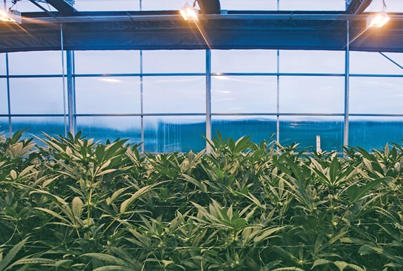 Why Large-Scale Cannabis Producers are Turning to Hybrid Greenhouses