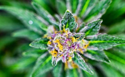 9 Fast-Flowering Cannabis Seeds for Outdoor Growers