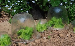 Garden Cloches: Giving Plants More time