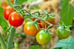 A vine of tomatoes at different stages of ripeness.
