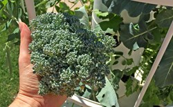 Hand holding aeroponic broccoli from a tower garden.
