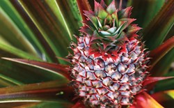 What method should I use to grow pineapples hydroponically?