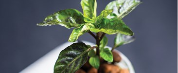 Photograph of a hydroponic pepper plant.