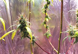 Cannabis plants with red stems.