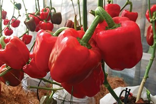 How Can I Clone My Best-Producing Bell Pepper Plant?