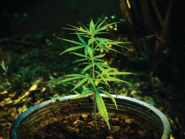 Potted cannabis plant moved outdoors for the grow season.