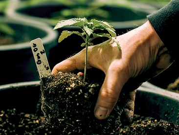 Young cannabis plants growing in pots.