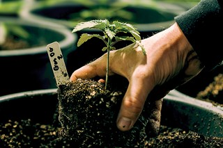 Should be transplanting my cannabis plants into larger pots in order to have them continue growing through the vegetative stage?