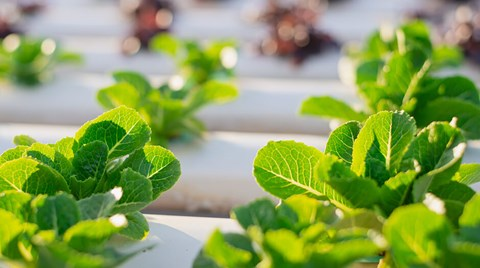 In hydroponic systems, it's not uncommon to see extremely lush vegetative growth at the expense of fruit yields, or plants that take...