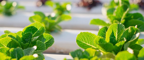 Lettuce plants growing in a hydroponic system