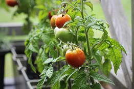 What vegetables are the easiest to start growing on an apartment balcony?
