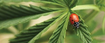Beneficial insect ladybug on the leaf of a cannabis plant.