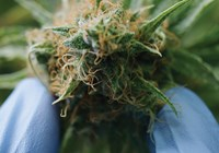 Determining the Best Time to Harvest Your Buds
