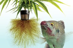 The Pros and Cons of Growing Cannabis Using Aquaponics