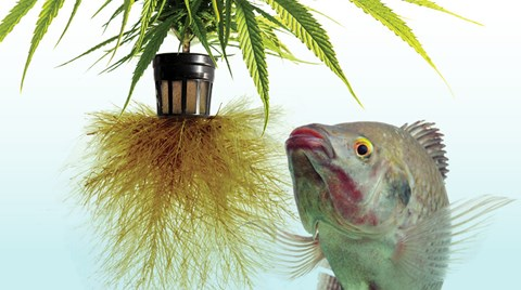 Seasoned cannabis cultivators looking for large yields and a quick growth cycle might want to consider aquaponics.