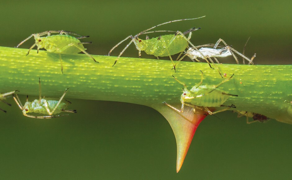 Aphids crawling around a thorn on the stem of a plant.