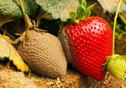 Beating Botrytis: How to Identify, Prevent & Treat a Common Crop Ailment
