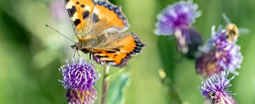 A butterfly and honeybee on Canada thistle flowers.