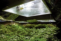 Cannabis plants in a growroom under a light.