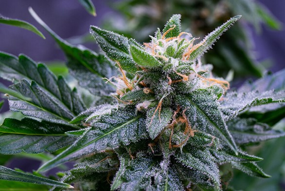 Pros and Cons of Growing Autoflowering Marijuana Plants