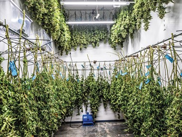 Cannabis hanging to dry in a facility.